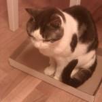 Katten Mysen i pappkartong. Viktigt för katten att sitta där.