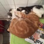 Katter som kramas.