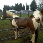 Hästen sitter fast i staketet, men nötkreaturet bara skrattar.