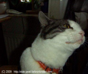 Katten mysen gnuggar inte huvudet mot enbart mig, utan även mot stolar.
