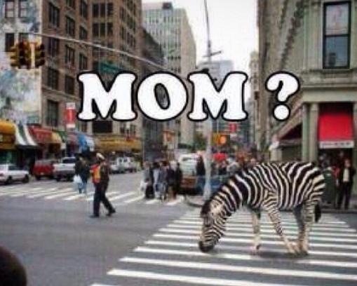 djur-zebra-mamma